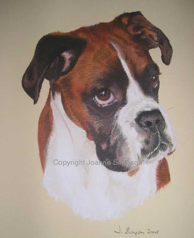 Boxer Dog portrait by Joanne Simpson