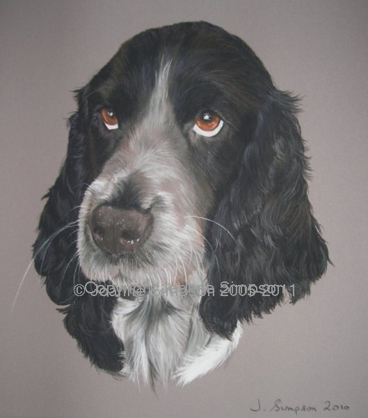 Blue Roan English Cocker Spaniel pet portrait by Joanne Simpson