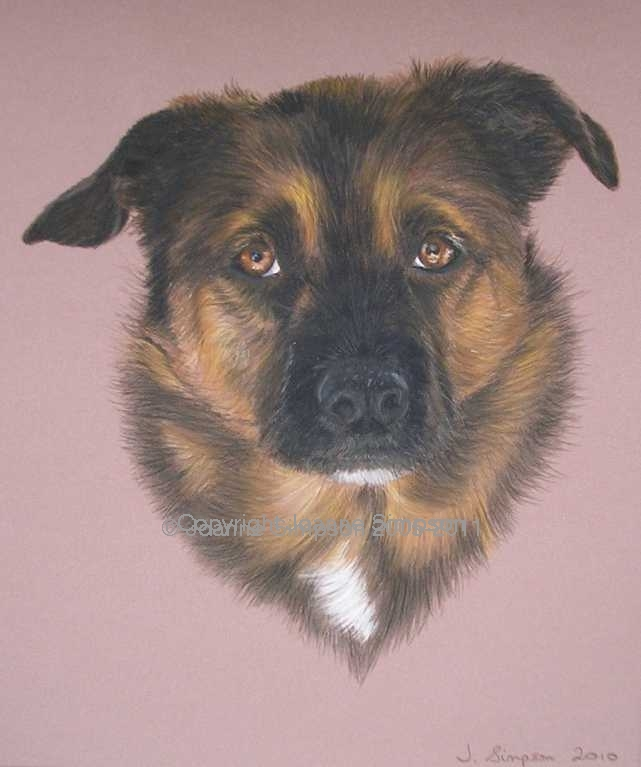 German Shepherd cross pet portrait by Joanne Simpson