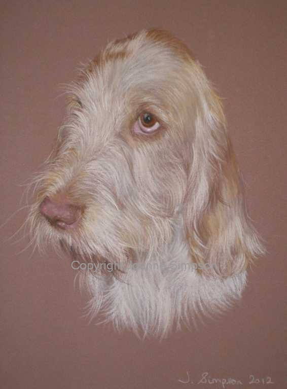 Italian Spinone pet portrait by Joanne Simpson