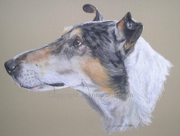 Smooth haired Collie pet portrait by Joanne Simpson.