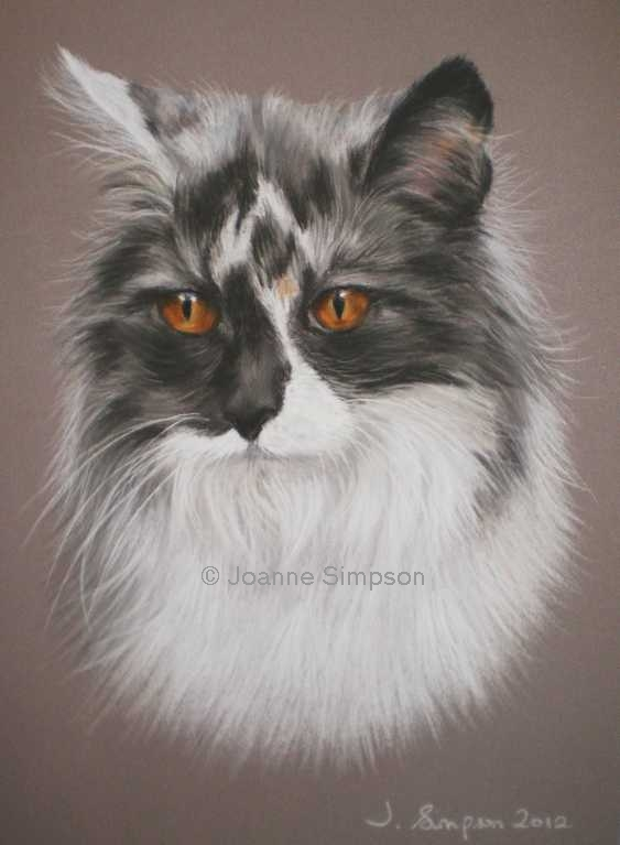 Maine Coon pet portrait.
