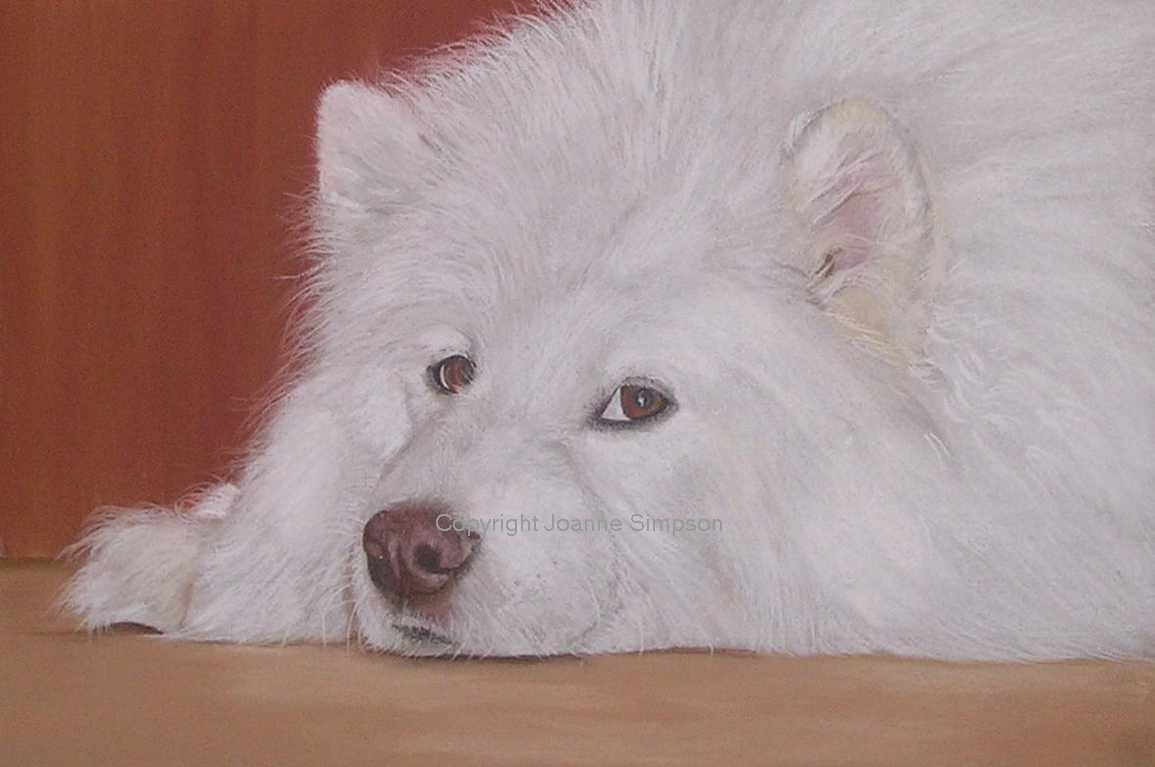 Samoyed pet portrait by Joanne Simpson.