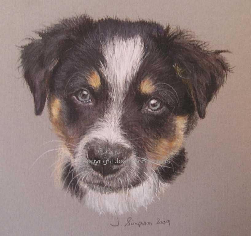 Border Collie portrait by Joanne Simpson