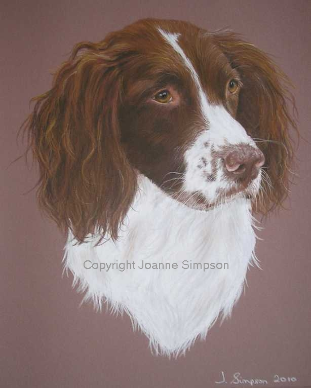 Springer Spaniel portrait by Joanne Simpson