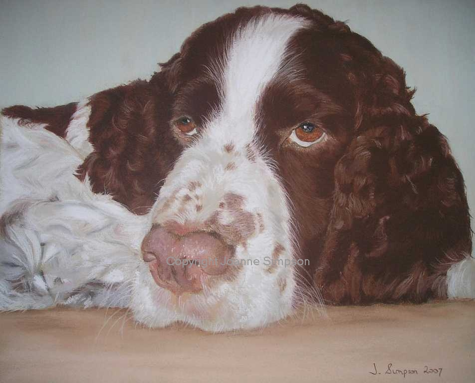 Springer Spaniel pet portrait by Joanne Simpson.