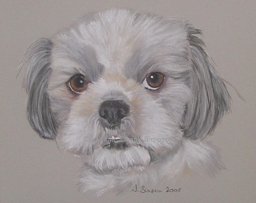 Shih Tzu pet portrait by Joanne Simpson